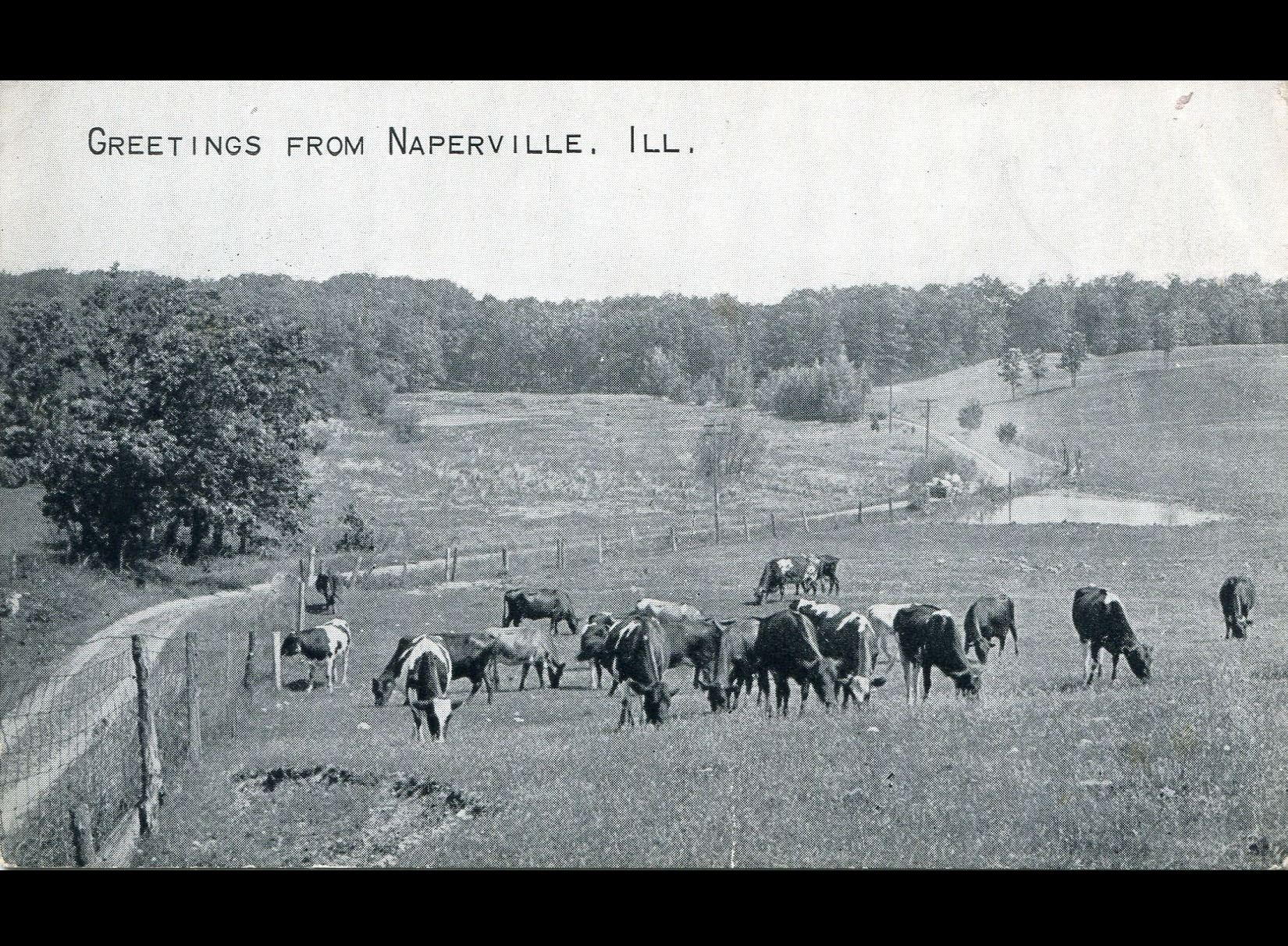 "Cows in field, ""Greetings From Naperville, ILL."""