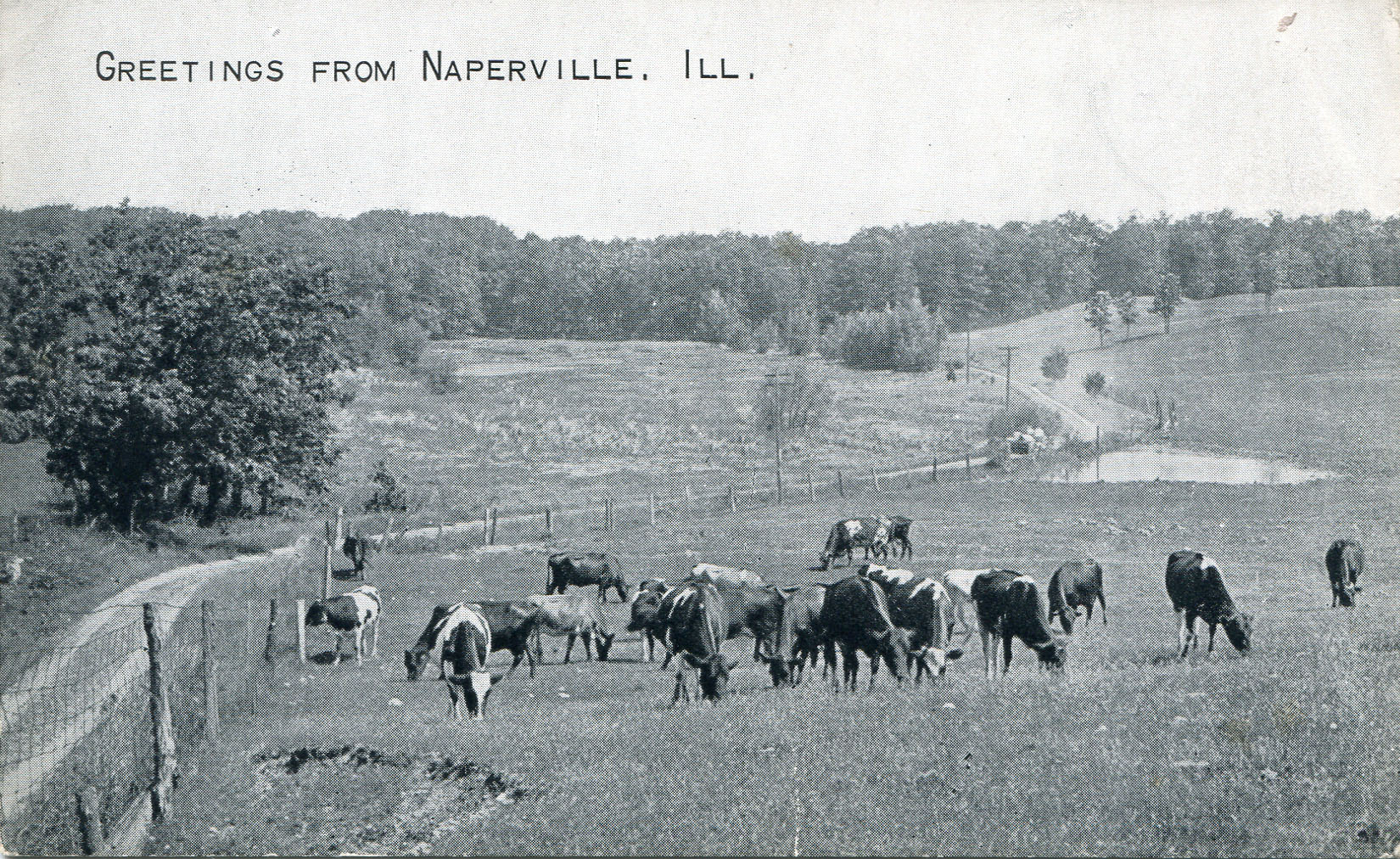 Postcard of cows in field